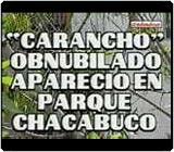 Carancho obnubilado en Parque Chacabuco